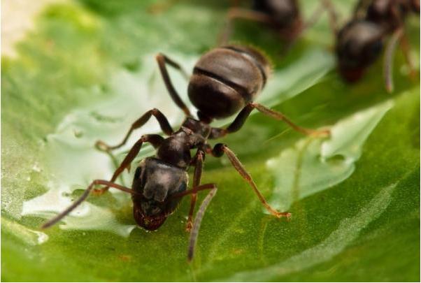 动物中的医生 蚂蚁竟能给自己治病