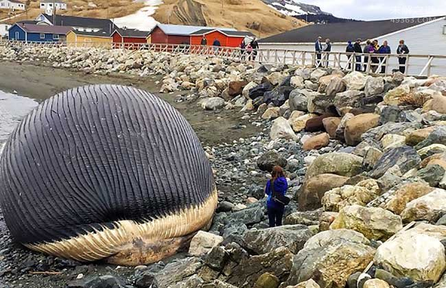 台湾运输体重50吨死鲸鱼发生爆炸,威力如炸弹