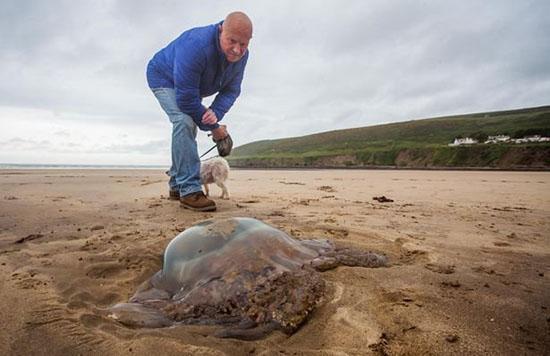 英国南部海岸惊现一只近1米宽的巨型水母:有150条之多